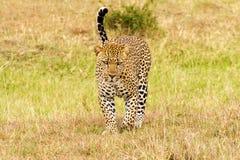 Het vooraanzicht van het luipaardclose-up Stock Foto
