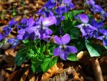 Het voordoen zich in de lente stock afbeelding