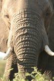 Het voorhoofd van olifanten Royalty-vrije Stock Fotografie