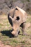 Het VoorPortret van de rinoceros en van de Vogel Royalty-vrije Stock Afbeelding