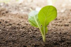 Het groeien van groenten Stock Foto