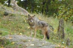 Het vooruitzicht van de coyote Royalty-vrije Stock Afbeelding