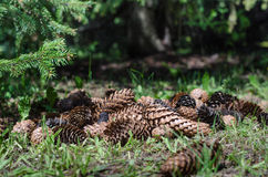 Het voorwerp van de pijnboom Cones Royalty-vrije Stock Fotografie
