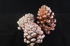 Het voorwerp van de pijnboom Cones Royalty-vrije Stock Foto's