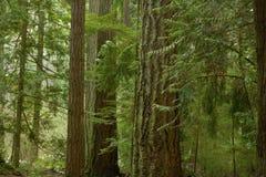 Het vreedzame Bos van het Noordwesten Stock Fotografie