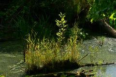 Het vreedzame moerasland van het Noordwesten zoet water Royalty-vrije Stock Afbeeldingen