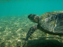 Het vreedzame overzeese schildpad zwemmen Stock Afbeeldingen