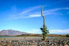 Het vreemde het kijken installatie groeien op droog dor landschap van Nieuw Zeeland stock afbeeldingen