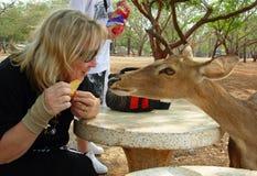 Het vriendschappelijke hert probeert om voedsel van geamuseerde toerist in aardpark Azië te krijgen stock afbeeldingen