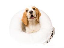 Het vriendschappelijke puppy van de Brak binnen wit bontbed Stock Fotografie