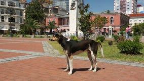 Het vriendschappelijke verdwaalde hond zwiepen met verwijderen van en het bekijken mensen die rond stadsvierkant lopen de steel stock footage