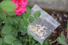 Het vrijgeven van Lieveheersbeestjes in Tuin Stock Afbeeldingen