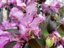 Het vroege de lentebloemen sterven stock afbeelding