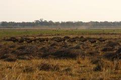 Het vrouwelijke en jonge Lechwe-Kudde Lopen stock afbeeldingen