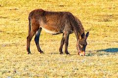 Het vrouwelijke ezel voeden Royalty-vrije Stock Afbeeldingen