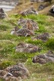 Het vrouwelijke gemeenschappelijke eidereendvogels nestelen Stock Afbeeldingen
