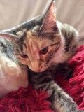 Het vrouwelijke Gestreepte kat jonge kat ontspannen Royalty-vrije Stock Fotografie