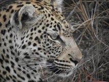 Het vrouwelijke gezichtsprofiel van het luipaardclose-up Royalty-vrije Stock Foto's
