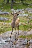 Het vrouwelijke hert bevindt zich op een reusachtige granietkei stock foto