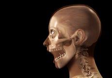 Het vrouwelijke Hoofd van de Röntgenstraal Royalty-vrije Stock Afbeelding
