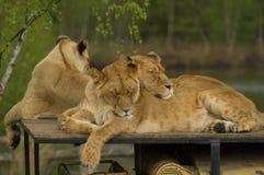 Het vrouwelijke leeuwinnen slapen Royalty-vrije Stock Afbeeldingen
