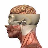 Het vrouwelijke Lichaam van de Anatomie vector illustratie