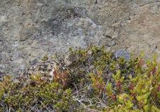 Het vrouwelijke rotsptarmigan muta van Lagopus verbergen tussen Amerikaanse veenbesbu stock fotografie