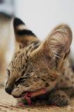 Het vrouwelijke serval kattenleptailurus serval eten van/het genieten van been van zijaanzicht over geweven mat Stock Fotografie