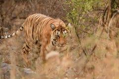 Het vrouwelijke tijger besluipen in haar habitat stock afbeeldingen