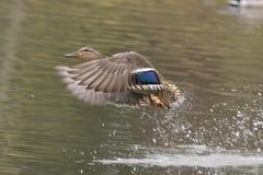 Het vrouwelijke wilde eendeend vliegen Royalty-vrije Stock Foto's