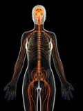 het vrouwelijke zenuwstelsel Stock Foto