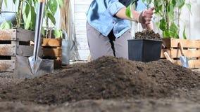 Het vrouwenwerk in de paprikainstallatie van de moestuinplaats van de pot in de grond zodat het, dichtbij houten dozenhoogtepunt  stock footage