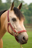 Het waakzame Paard van het Kwart van het Daim Royalty-vrije Stock Foto's