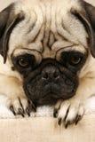 Het wachten Pug Royalty-vrije Stock Fotografie