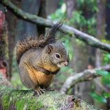 Het wachten van de eekhoorn Stock Foto's