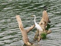 Het waden van vogel Stock Foto