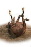 Het wallowing van het paard in modder Royalty-vrije Stock Afbeelding