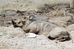 Het wallowing van het wrattenzwijn in modder stock foto