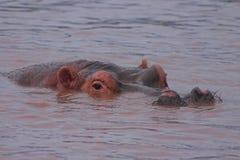 Het wallowing van Hippo Stock Foto's