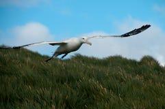 Het wandelen Albatros tijdens de vlucht Royalty-vrije Stock Foto
