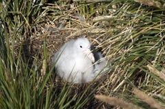 Het wandelen albatrosbeginneling op nest stock afbeelding