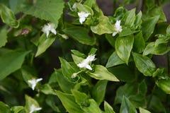 Het wandelen Jood bloemen stock foto's