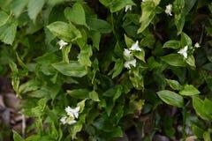 Het wandelen Jood bloemen stock afbeelding