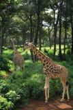 Het wandelen van twee Giraf Royalty-vrije Stock Foto