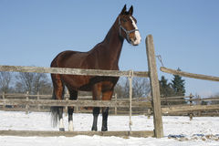 Het warme Paard die van de Bloedbaai zich in de Winter bevinden drijft Landelijke Scène bijeen Royalty-vrije Stock Foto