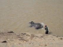 Het wassen van de olifant Stock Foto's