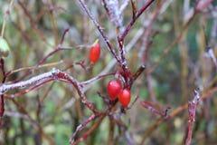 Het water bevroor op een wildernis toenam na regen De bessen en de bladeren zijn behandeld met ijs royalty-vrije stock foto