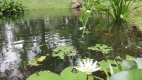 Het water bloeit lilly in kleine vijver met de zomerdag stock video