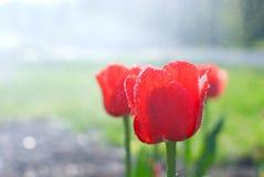 Het water daalt, ochtenddauw op verse bloeiende rode tulpen in spr Stock Afbeelding