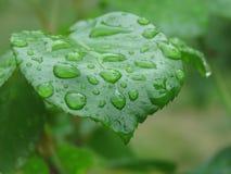Het water daalt op groen blad na regen stock fotografie